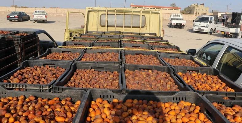 : موسم التمور في ليبيا: غذاء ودواء وتاريخ